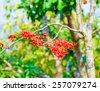 Monkey Flower Tree, Fire of Pakistan Red beautiful. - stock photo