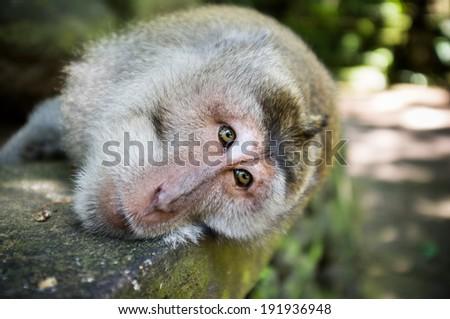 Monkey forest Ubud, Bali, Indonesia - stock photo