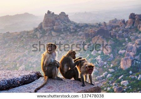 Monkey. Hill side view near the Hanuman Temple in Jaipur, India. - stock photo