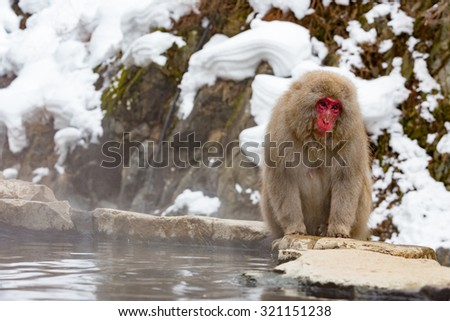 Monkey in a natural onsen (hot spring), located in Snow Monkey, Nagono Japan.