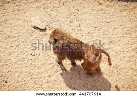 Monkey in a zoo on a sunny day on yellow sand
