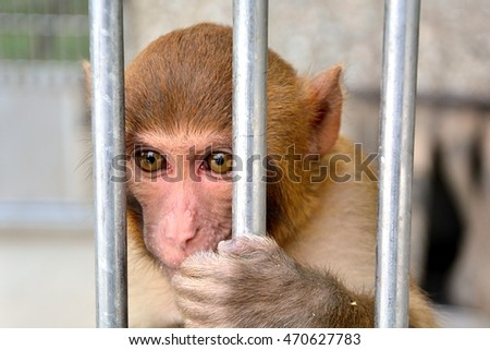 Monkey in captivity holding metal bars