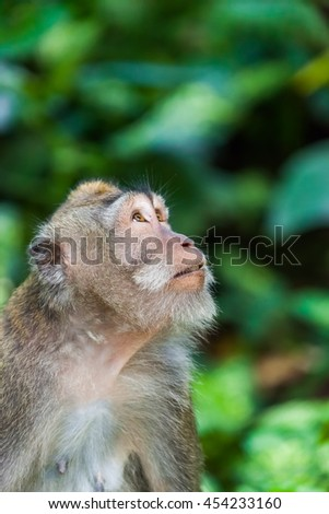 Monkey in forest park in Ubud - Bali Indonesia - animal background
