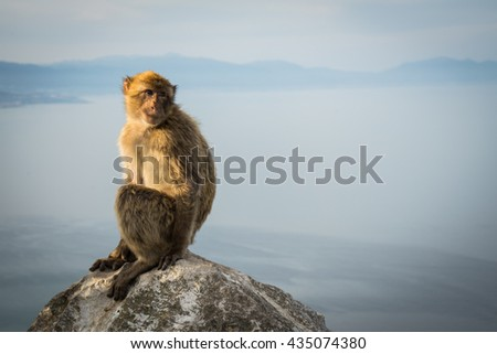 Monkey in Gibraltar sitting on a rock watching the sea