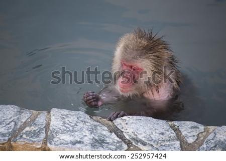 Monkey in Hot Spring, Hakodate Tropical Botanical Garden, Hokkaido, Japan - stock photo