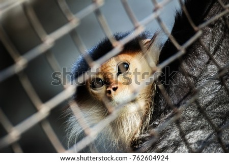 Monkey in the cage, eyes are sad, lack of freedom.