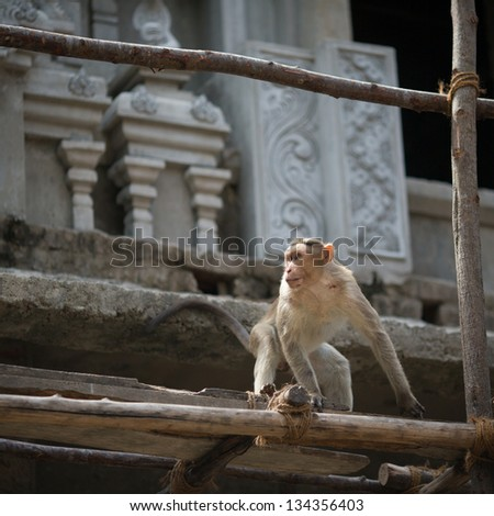 Monkey in the indian temple