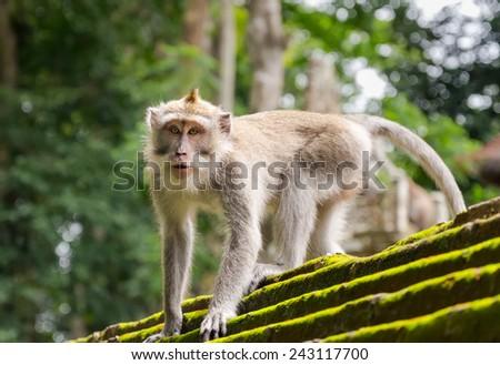 Monkey in the Monkey Forest, Ubud, Bali Island. - stock photo