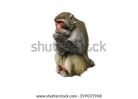 Monkey in Zhangjiajie National Geological Park in white background