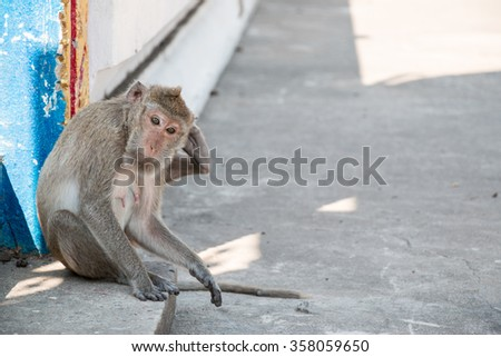 monkey is sitting in temple, a big group of monkeys live in temple and forest in thailand. - stock photo