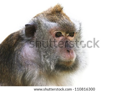 monkey isolated on white. - stock photo