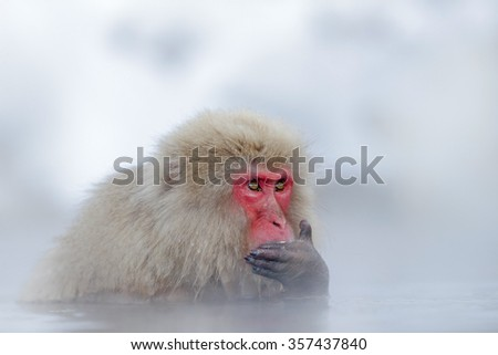 Monkey Japanese macaque, Macaca fuscata, red face portrait in the cold water with fog and snow, hand in front of muzzle, animal in the nature habitat, Hokkaido, Japan - stock photo