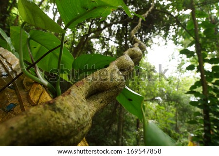 Monkey Ladder lianas (Bauhinia sp.) in tropical rain forest - stock photo