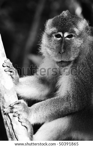 Monkey (Long-tailed macaques)