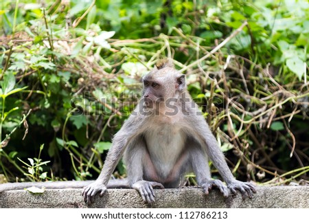 Monkey looking aside at sacred monkey forest, Ubud, Bali, Indonesia