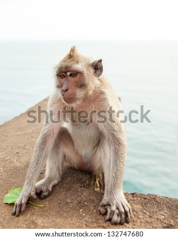 Monkey (Macaca fascicularis) near Pura Ulawatu temple near Ubud, Bali Indonesia. - stock photo