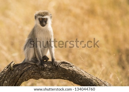 monkey on branch with background - stock photo