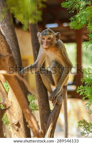 Monkey on the tree eats raw banana
