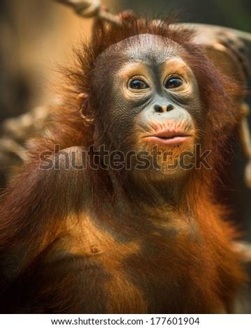 monkey orangutan - stock photo
