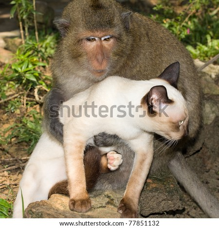Monkey playing with a domestic cat , Thailand . - stock photo