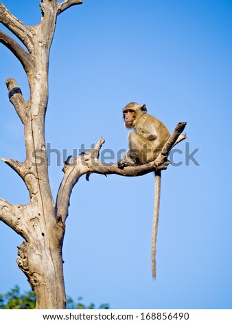 Monkey sitting on a dead tree with blue sky background.