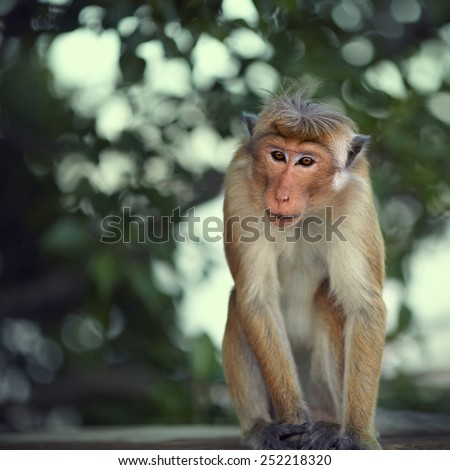 Monkey sitting on stone parapet and stares at tourists - stock photo
