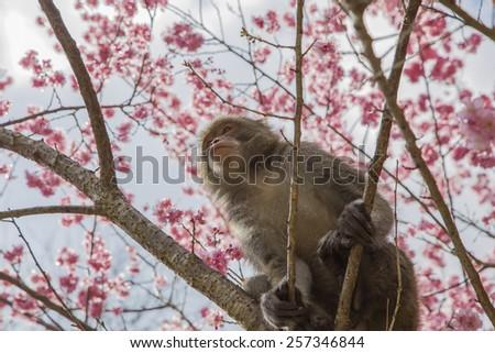 Monkey sitting on the cherry tree in the wild - stock photo