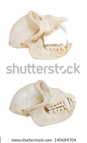 Monkey skull, isolated on white, side view - stock photo