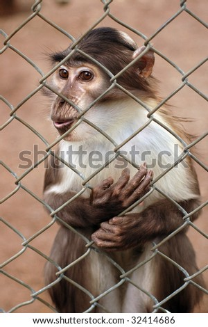 Monkey trapped behind fence in zoo