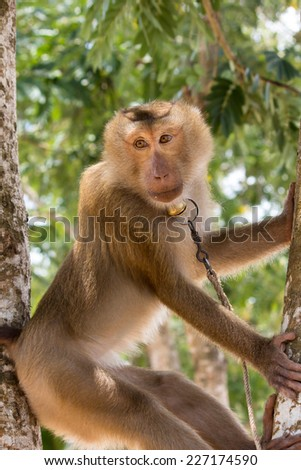 monkey waiting for taking coconut, southern part of Thailand - stock photo