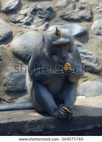 Monkey with cookies in Bali, Indonesia. - stock photo