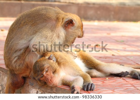 monkey with love  (Macaca fascicularis ) - stock photo