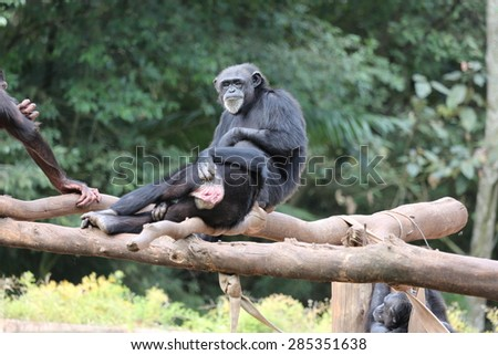 Monkeys chimpanzees in branch - stock photo