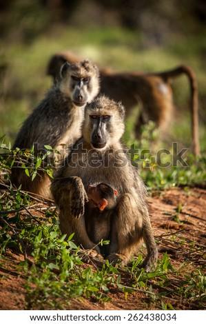 Monkeys in Kenya - stock photo