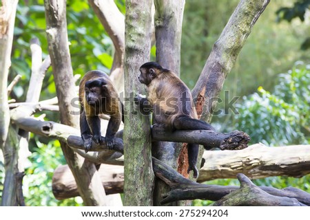monkeys in the wild filmed close up - stock photo
