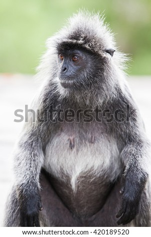 monkeys in the wild in the jungle - stock photo