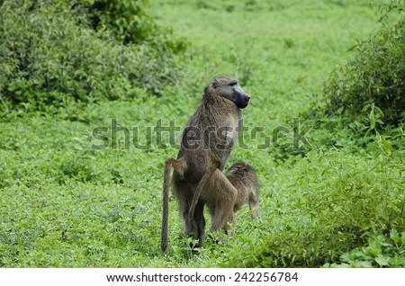 Monkeys Mating - Chobe National Park - Botswana - stock photo