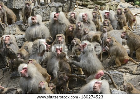 monkeys waiting for their food