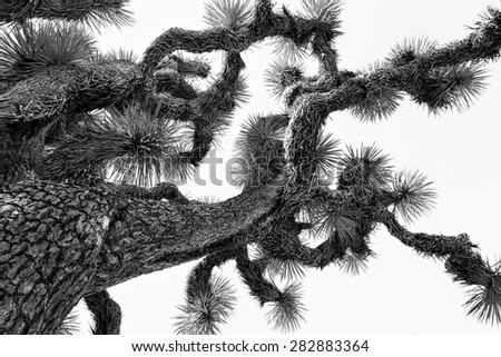 Monochromatic image of a Joshua tree - stock photo
