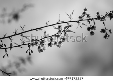 Monochrome (black and white) Thai cherry blossom (sakura) in Thailand