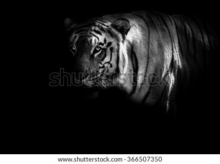 Monochrome image of great Bengal tiger, side portrait