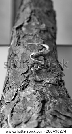 Monochrome image small newborn snake with hanging skin lying on tree bark - stock photo