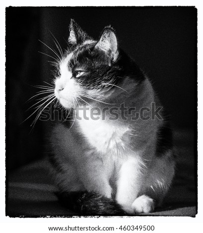 monochrome, retro vintage portrait of a domestic cat. noise and contrast intentionally added for a retro photo effect