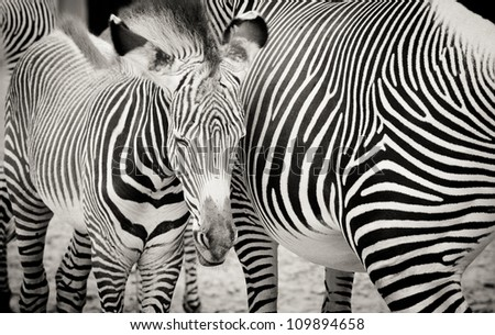 Monochrome Zebras - stock photo