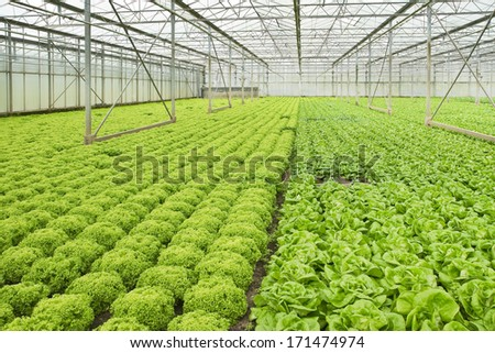Monoculture of Salad plants growing in glasshouse in summer - horizontal - stock photo