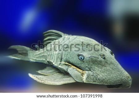 Monster Sucker Fish - stock photo