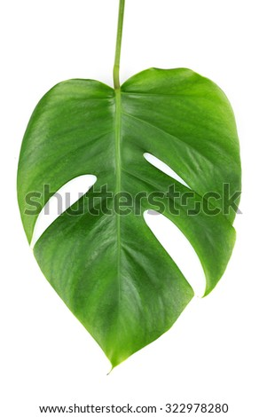 Monstera leaf isolated on white - stock photo