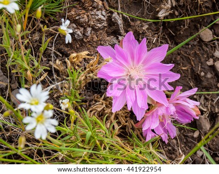 Montana Bitterroot Flower at the National Bison Range in Montana USA - stock photo