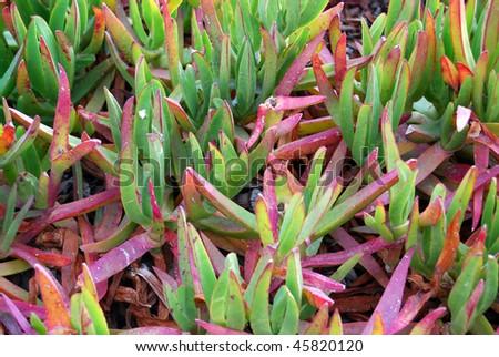 Monterey Bay, California Ground Plants - stock photo
