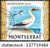 MONTSERRAT - CIRCA 1970: Postage stamp Montserrat (British Overseas Territory), shows the Red-footed Booby (Sula sula), circa 1970 - stock photo